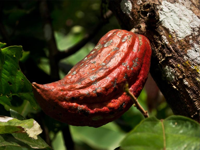 Venezuelan cocoa, the best in the world. Who says it?